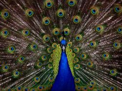 blue and green peacock | Artistshot